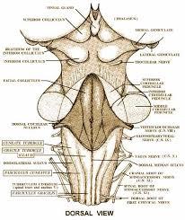Brain Stem Anatomy 25 Best Neuro Images On Pinterest Anatomy Brain And Medicine