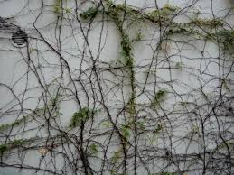 Tree Climbing Plants File Hk Sw 上環 Sheung Wan 磅巷 Pound Lane Wall Climbing Plants