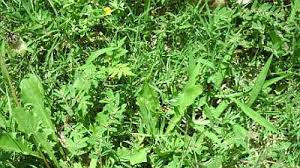How To Cut Weeds In Backyard Are Your Lawn Weeds Taking Over Fight Smarter To Win