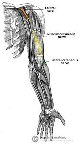 Anatomy Of The Right Arm The Musculocutaneous Nerve Course Motor Sensory Teachmeanatomy