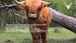 moodmasters video content scottish red highland cattle youtube