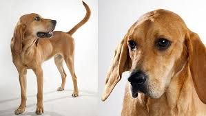 bluetick coonhound vs redbone coonhound redbone coonhound dog breed selector animal planet