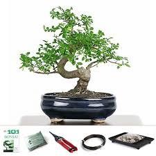 elm bonsai starter kit