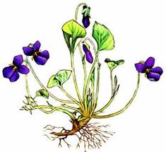 Edible Flowers Sweet Violets Edible Flowers Medicinal Plants Natural Health