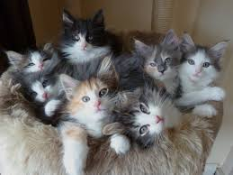beautiful kittens 50 most beautiful norwegian forest cat photos and images