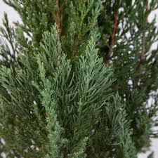 black friday home depot 2017 trees 3 gal leyland cypress 12373fl the home depot