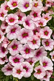 superbells cherry blossom calibrachoa hybrid proven winners