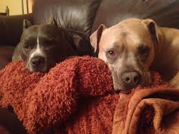 american pitbull terrier qualities my new neighbor owns two pit bulls and my mother and father are