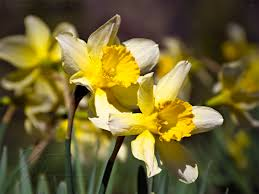 early spring twin daffodils free flower wallpaper image