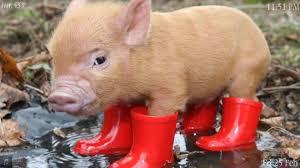 pig pictures qygjxz