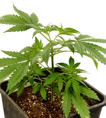 pruning marijuana plants when and how to prune
