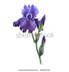 iris flowers iris flower stock images royalty free images vectors