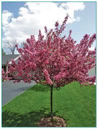 ornamental trees zone 4