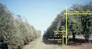 prepare the tree canopy mechanical harvesting of california