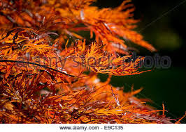 orange leaves on an ornamental acer tree stock photo royalty free