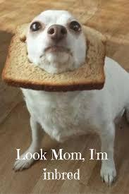 Meme Chihuahua - 14 best chihuahua memes images on pinterest chihuahua chihuahua