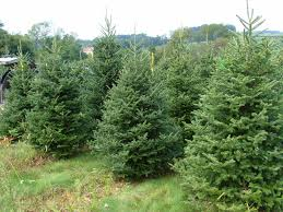 100 christmas tree name types of trees grown in texas