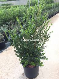 buxus sempervirens in vaso buxus sempervirens diam 28 vivaio piante da esterno florpagano