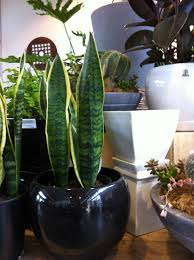 australian native indoor plants gills nursery articles u0026 advice