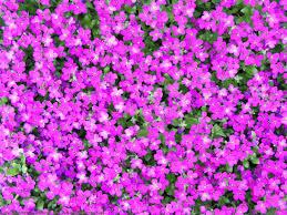 purple flowers plants 27 desktop background hdflowerwallpaper com
