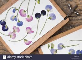 flower press lathyrus odoratus pressed sweet pea dried flowers in a flower