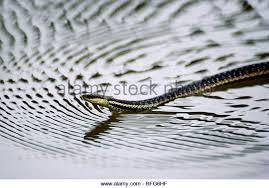 Madagascar Blind Snake African Snake Stock Photos U0026 African Snake Stock Images Alamy