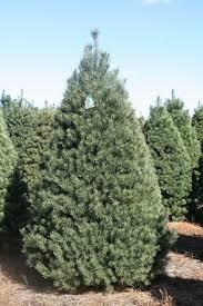 scotch pine christmas tree scotch pine