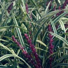 monkey grass evergreen ornamental grasses garden plants