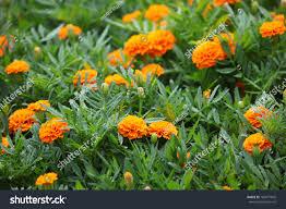 australian garden flowers beautiful bright marigold flowers garden bed stock photo 169677845
