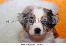 5 week old mini australian shepherd miniature australian shepherd puppy blue merle 10 weeks