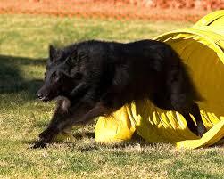 belgian sheepdog agility dogbreedz photo keywords belgian sheepdog