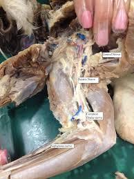 femoral nerve cat u2013 hd m com