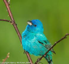 image result for turquoise indigo bunting birds pinterest