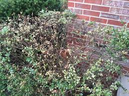 our boxwood hedge is sick and dying ask an expert