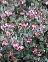 native northern california plants pacific horticulture society arctostaphylos for pacific