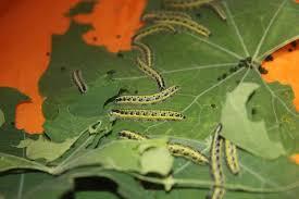 raising cabbage white caterpillars stuwahacreations
