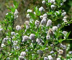 Flowering Privacy Shrubs - privacy hedges that are drought tolerant 10 socal options