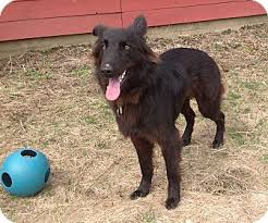 belgian sheepdog oregon knight adopted dog grafton ma flat coated retriever german