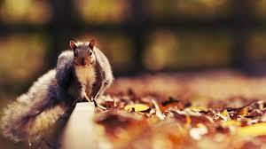 download wallpaper 1920x1080 squirrel leaves autumn animal full