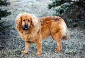 belgian sheepdog price in india tibetan mastiff dogs and puppies for sale in the uk pets4homes