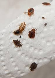Bed Bugs Disease Kissing Bug Bed Bug Blog Report