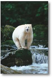 Are Bears Color Blind Best 25 Spirit Bear Ideas On Pinterest What Is An Albino Bears