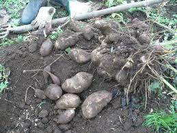 poire de terre cuisine nouvelle curiosité au jardin et en cuisine la poire de terre