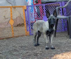 belgian malinois rescue va belgian malinois puppies and dogs for sale in usa