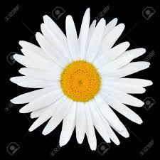 manzanilla daisy flor blanca centro amarillo aisladas sobre