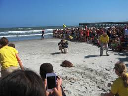 first sea turtles of the season released on isle of palms dunes