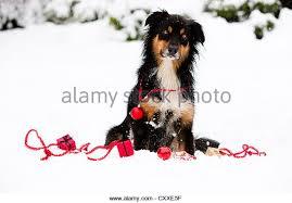 australian shepherd ornament australian shepherd dog sitting snow stock photos u0026 australian