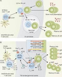 the origins function and regulation of t follicular helper cells