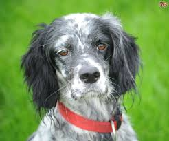 types of setter dog breeds english setter hereditary health and longevity pets4homes