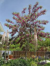 Tree With Purple Flowers Ornamental Trees
